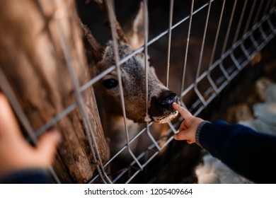Life in a cage. Deer in a zoo or farm. Child touching deer's nose.