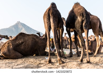 The life of camels and their owners portrait through lens during the pushkar camel fair : Pushkar, Rajasthan/India - Oct 2017