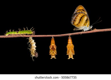 Life cycle of colour segeant butterfly ( Athyma nefte ) from caterpillar and pupa hanging on twing
