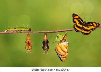 Life cycle of colour segeant butterfly ( Athyma nefte ) from caterpillar and pupa , metamorphosis , growth hanging on twig