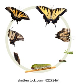Life cycle of the Eastern Tiger Swallowtail butterfly (Papilio glaucus) from North America showing all stages in the development of the butterfly: Egg, caterpillar, chrysalis, adult, life and death.