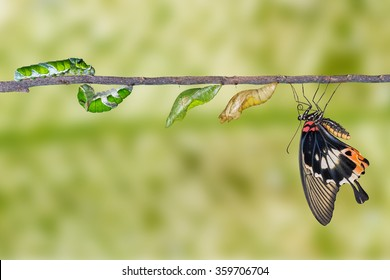 Life cycle of great mormon butterfly from caterpillar