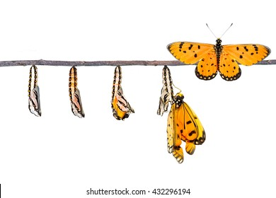 Life cycle of Tawny Coster transform from caterpillar to butterfly on white