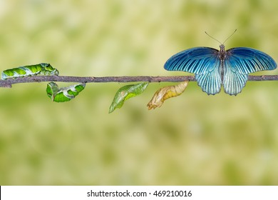 Life cycle and transformation of male great mormon butterfly from caterpillar