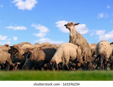 Life is good! Domestic animals - sheep, happily mating on a pasture with green grass and clear blue sky with white clouds