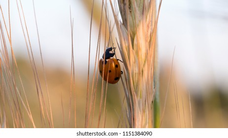 life in the grain - ladybug / ladybird (Coccinellidae) on the wheat ear grains (close up)