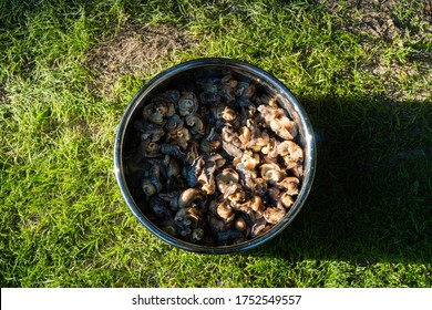 Life hack. Cooking edible Helix pomatia grape snails, Roman snails or Burgundy snails. Meat of snails without shells in pan. Close-up. Tasty food. Delicacy cooked at home.