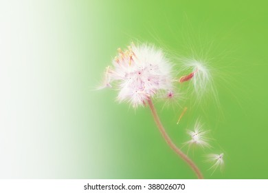Life and hope as a grow concept, Close up of dry grass flower. Selective focus on grass flower, the next generation, Wrightia religiosa seed and Coat buttons flower on green background