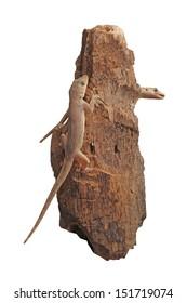 """Life"" The  lizard crawl on the rock-wood."