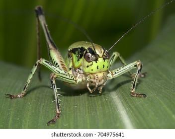Life in nature/Grasshopper