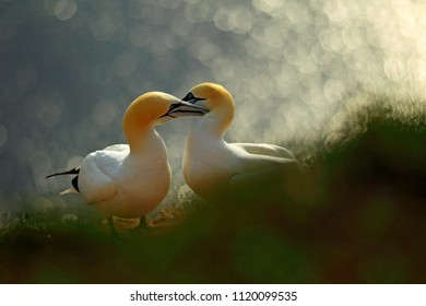 Life on cliff. Portrait of pair of Northern Gannet, Sula bassana, evening orange light in the background. Two birds love in sunset, animal love behaviour.
