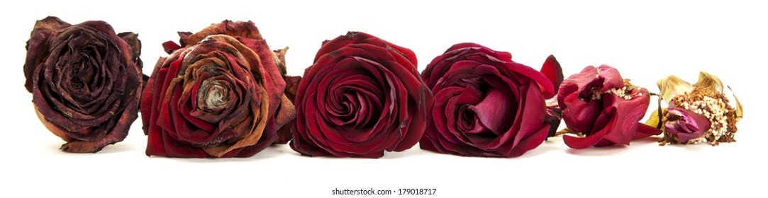 Life of Red roses