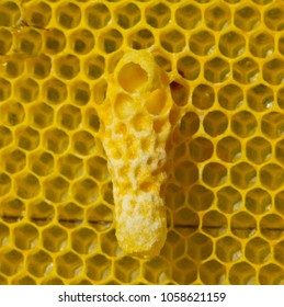 Life and reproduction of bees. Cocoon Queen bee.