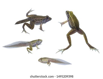 Life stages of the Southern Leopard Frog against a white background.