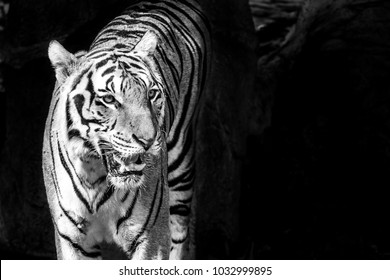 Life of the tiger black and white.