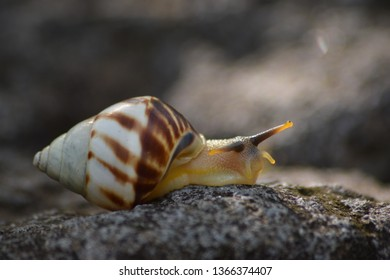 The life of white snails in the wild. The shell pattern is not much different from other land slugs in Southeast Asia. This snail comes from Indonesia. Wildlife Photography
