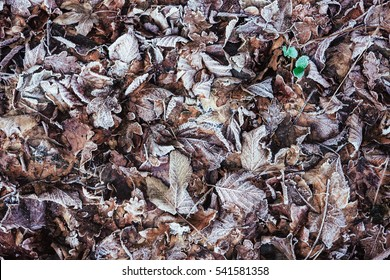 life in winter. small green seedling survives in dead leaves