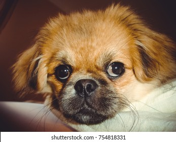 Life of young cute pekingese dog at cozy home