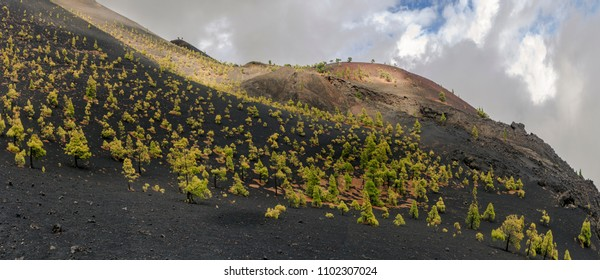 Lifely pine growth in the middle of volcanic basalt in La Palma, Canary Islands, Spain