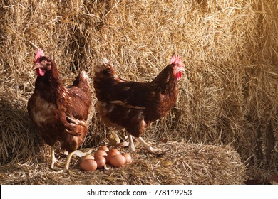 The lifestyle of the farm in the countryside, hens are hatching eggs on a pile of straw in rural farms, fresh eggs from the farm in the countryside