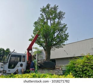 Lift the new tree to garden