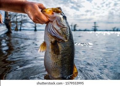 Lifting huge largemouth bass out of lake.