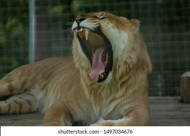 Liger Yawning and showing teeth