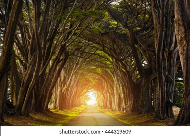 (Light added) Cypress Tree Tunnel, California