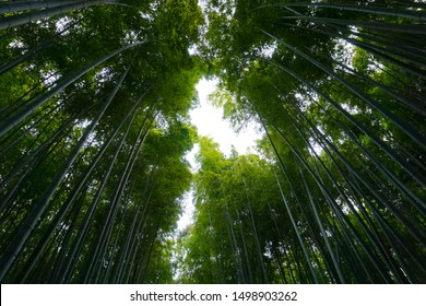 Light among towering Bamboo trees at Bamboo Forest