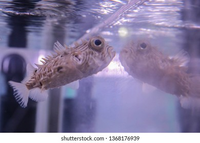 Light beige fish with thorns and large eyes swims near the glass aquarium