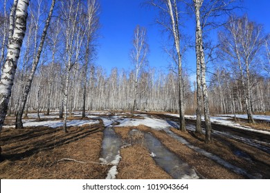 Light birch forest in early spring. Spring in Siberia.