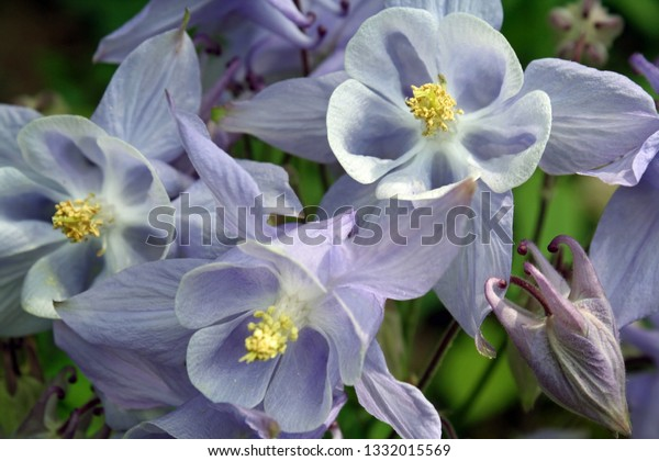 light blue columbine flowers up close