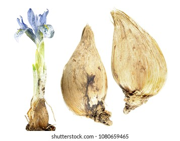 Light blue flower of winter iris with bulb isolated on white background. Hybrid of Iris histrioides and Iris winogradowii