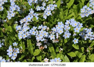 """Light blue """"Forget-me-not"""" flowers (or Bodensee-Vergissmeinnicht) in St. Gallen, Switzerland. Its scientific name is Myosotis Rehsteineri, native to Constance Lake region."""