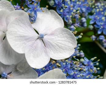 Light blue hydrangea flower close-up
