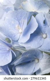 A light blue hydrangea(Hydrangea macrophylla for. otaksa) for wedding bouquet close up in the studio.
