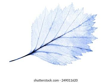 light blue leaf skeleton isolated on white background