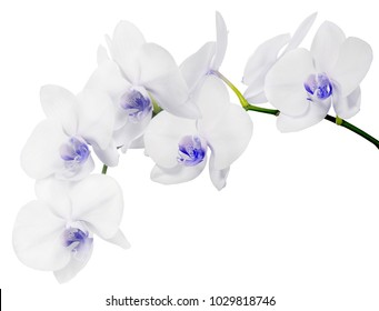 light blue orchid flowers isolated on white background