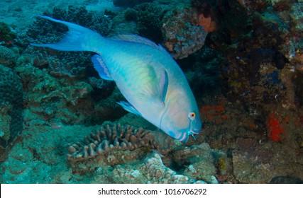 Light blue parrot fish