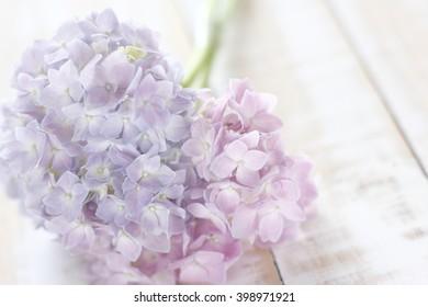 light blue and light pink hydrangeas flower on wooden white background.