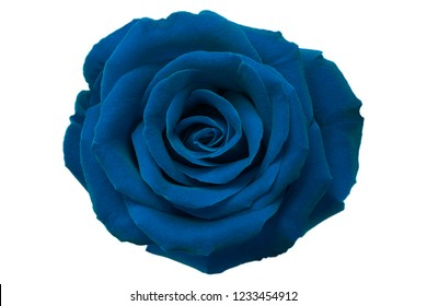 Light Blue rose on white background