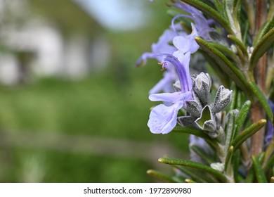 Light blue rosemary blossom in spring