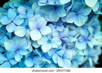 Light blue white wild Hydrangea in full bloom (Scientific name: Hydrangea macrophylla)