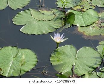 Light bluish water flower with round leafs