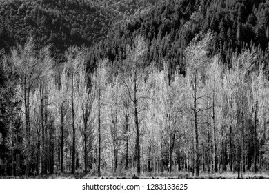 Light bright foliage of deciduous exotic trees in New Zealand spring with deeper evergreen varieties behind in black and white.