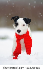 Light broken Jack Russell Terrier dog wearing a red scarf around its neck and staying outdoors on a snow in winter forest