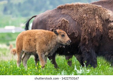A light brown baby bison stands close to its mothers side in the vibrant prairie grass of Custer State Park, South Dakota.