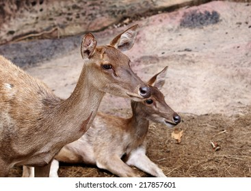 light brown color deers in group laying relaxing on the earth floor in an open zoo
