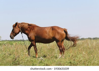A light brown farm horse with a collar and chain around its neck grazes in a summer meadow