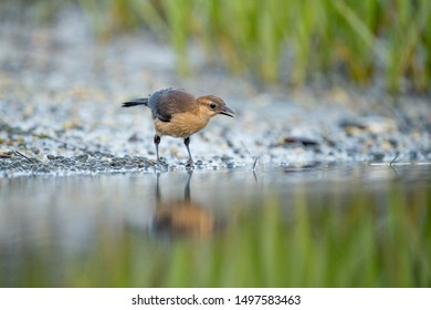 A light brown female Common Grackle stands in the mud searching for food in soft overcast light wth its reflection in the water.